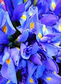 blauwe-iris